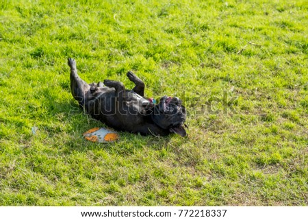 Black French bulldog rolling on the grass yards. Its very perky.