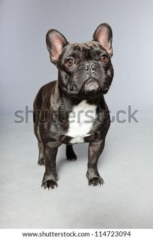 Black french bulldog. White chest. Funny dog. Comic character. Studio shot isolated on grey background. - stock photo