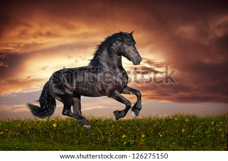 Black Friesian horse gallop - stock photo