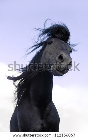 Black Friesian horse move hair on the sky background