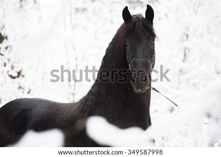 Black Friesian horse on winter background - stock photo