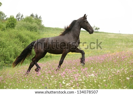 Black Friesian horse running on pasturage with pink flowers