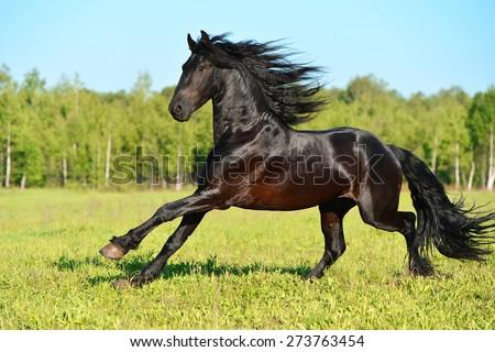 Black Friesian horse runs gallop in summer time - stock photo