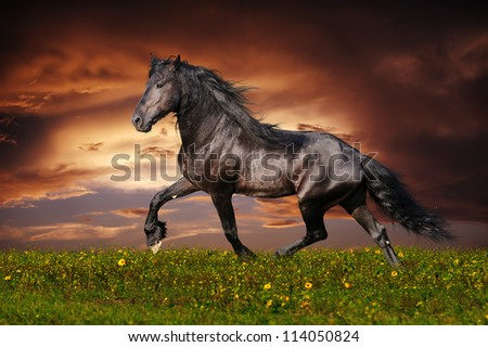 Black Friesian horse trot - stock photo