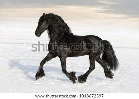 Black friesian horse with the mane flutters on wind running on the snow-covered field in the winter