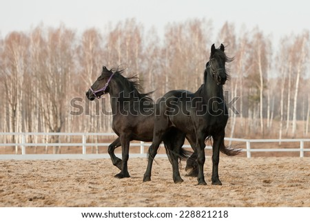black friesian horses - stock photo