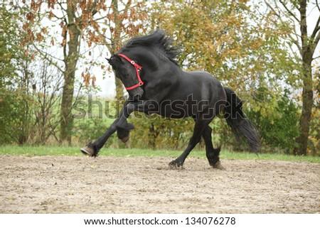 Black friesian stallion running on sand in autumn - stock photo