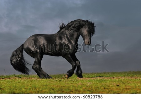 black friesian stallion runs gallop in sunset