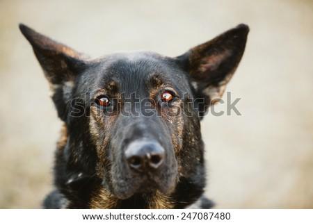 Black German Shepherd Dog Close Up Portrait - stock photo