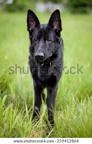 Black German Shepherd dog standing on grass - stock photo