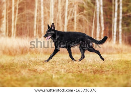 Black German Shepherd for a walk in the woods - stock photo