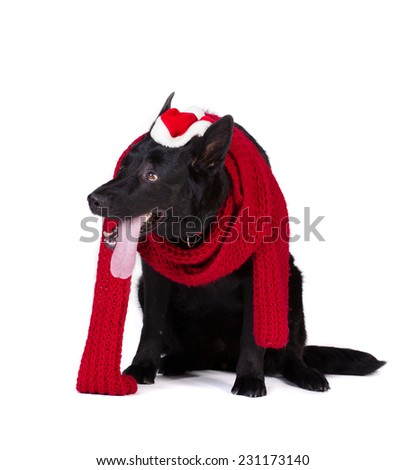 black german shepherd in red wool muffler and santa hat isolated on white background - stock photo