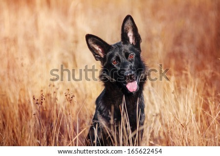 Black German Shepherd on autumn walk - stock photo
