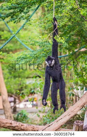Black Gibbon males on a branch. - stock photo