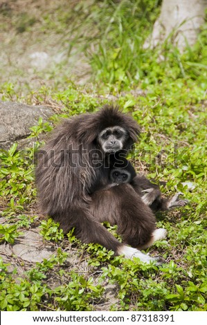 Black Gibbon monkeys, mom and baby in the green. - stock photo
