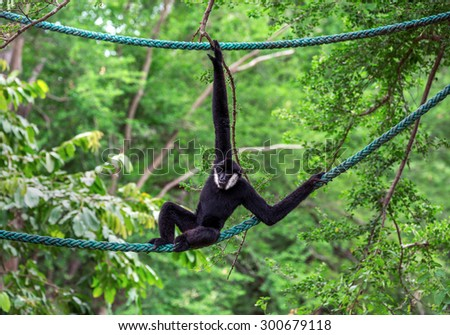 Black Gibbon(White-Cheeked Gibbon) - stock photo