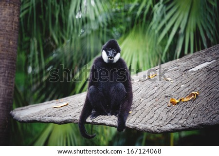 Black Gibbon With White Cheeks showing its teeth - stock photo
