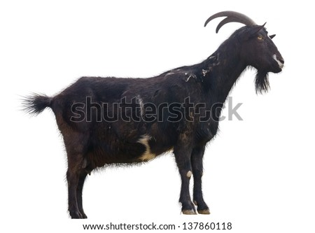 black goat on a white background - stock photo