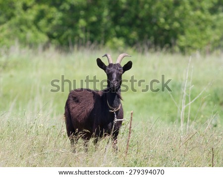 Black goat on the grass and stares - stock photo