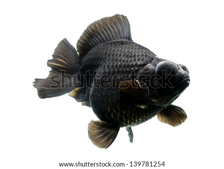 Black Gold fish Isolated on White Background