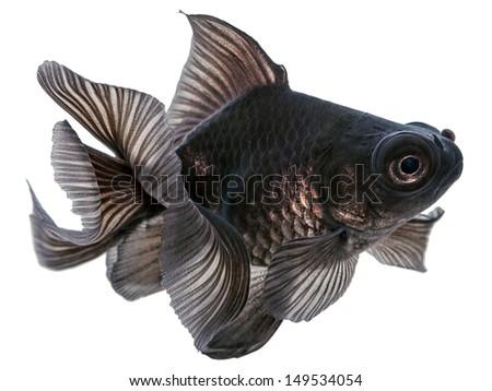 Black  Goldfish Isolated on White  - stock photo