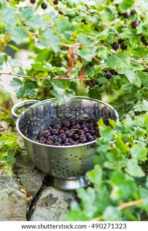 Black Gooseberries freshly picked from the bush in a stainless steel colander. Summer fruit harvest.