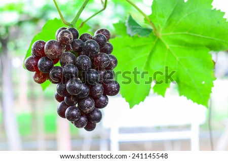 Black grape - stock photo