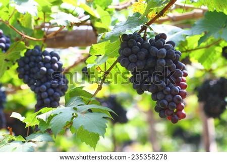 black grape in garden, wine - stock photo