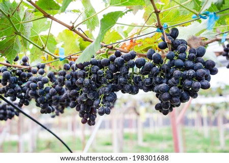 Black grapes - stock photo