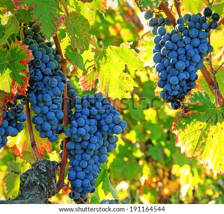 black grapes and colorful leaves - stock photo
