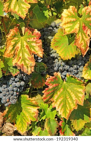 black grapes and colorful leaves