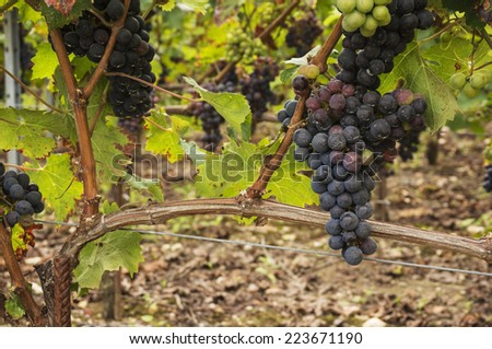 Black grapes for red wine from the vineyards in the centre of Saint Emilion, Bordeaux, South West france. - stock photo