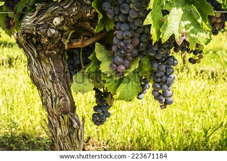 Black grapes for red wine from the vineyards of Villeneuve de Duras, South West france. - stock photo