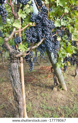 Black grapes in a vineyard in Tuscany