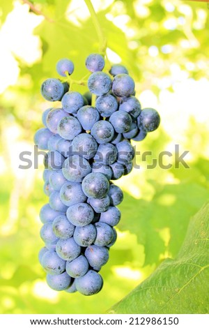 black grapes in the vineyard - stock photo