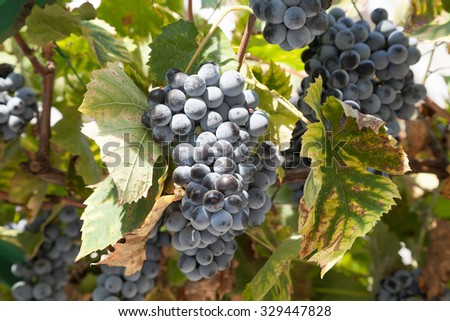 Black grapes on the vine - a grape variety