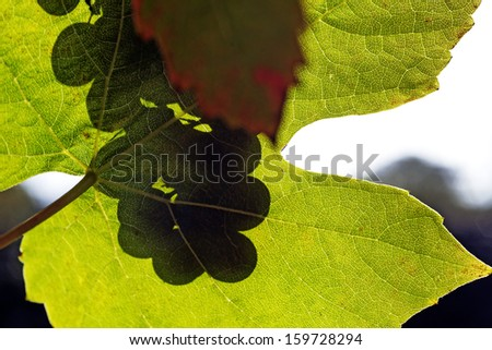 Black grapes shadow from a sunny vineyard - stock photo