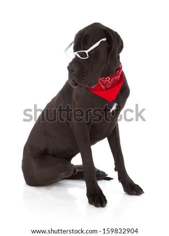 black great dane dog isolated on white background - stock photo