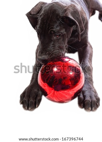 Black great Dane puppy on white chewing on a Christmas ornament - stock photo