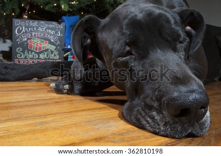 Black Great Dane that has layed down next to a Christmas tree - stock photo