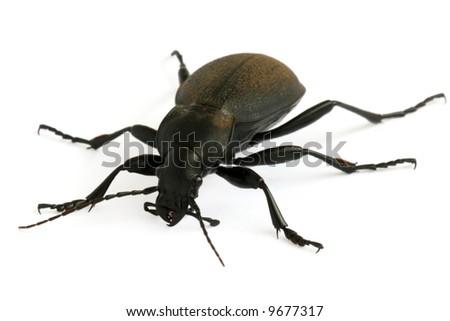Black ground beetle isolated on white background - stock photo
