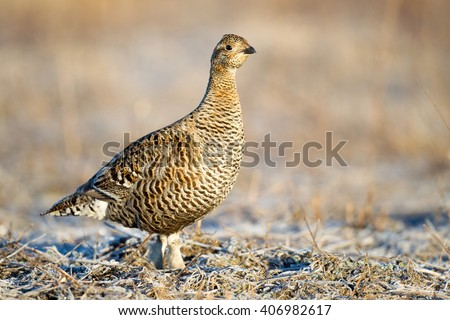 Black grouse (Tetrao tetrix). Female