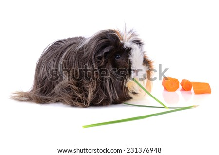 Black guinea pig eating green grass on a white background - stock photo