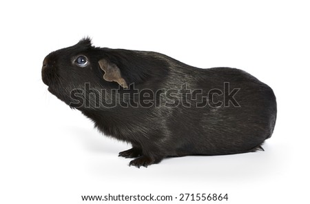 black guinea pig sniffing around isolated on a white background with a soft shadow. shot from the side - stock photo