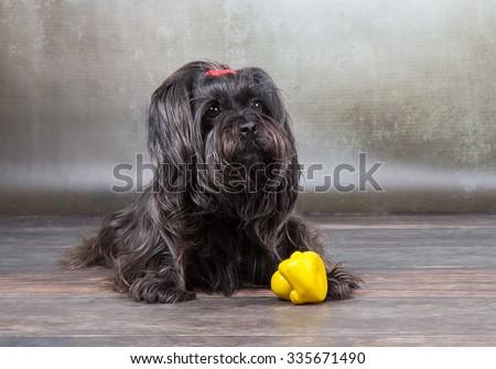 black havanese dog - stock photo