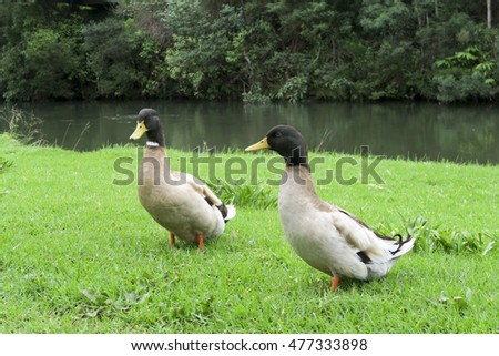 Black headed, beige ducks near the water's edge