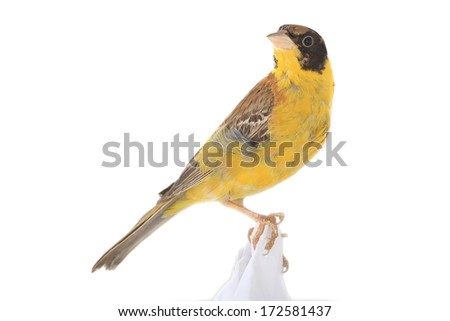 Black-headed Bunting on a white background