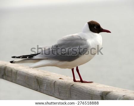 black-headed gull - stock photo