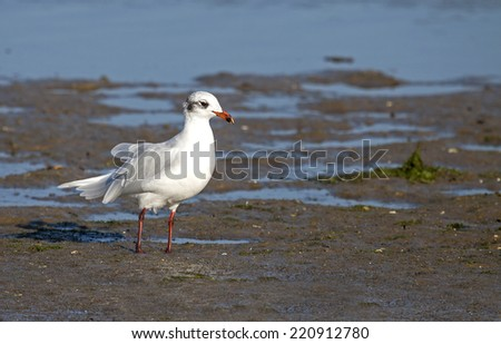 Black headed gull (Chroicocephalus ridibundus). - stock photo