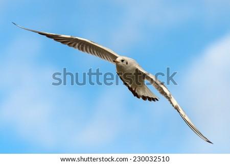 Black-headed gull - Chroicocephalus ridibundus - stock photo